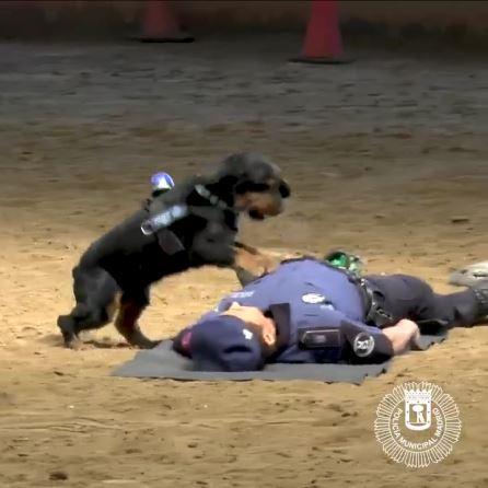 心肺蘇生する犬