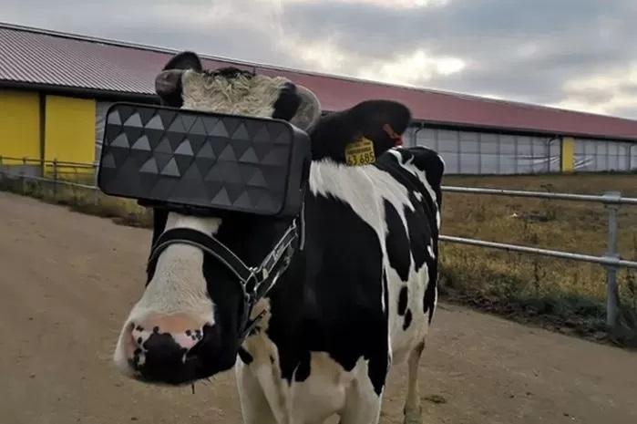 乳牛にVR